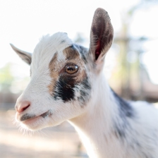 Rumor has it the curse will only lift when Cubs fans come to truly appreciate goats and welcome them in their midst. photo credit: Tc Morgan via photopin cc