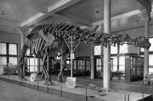 Brontosaurus (but later Apatosaurus, and now brontosaurus again) skeleton displayed with the wrong head at the Carnegie Natural Museum of Natural History. By Dinosaurs, by William Diller Matthew [Public domain], via Wikimedia Commons