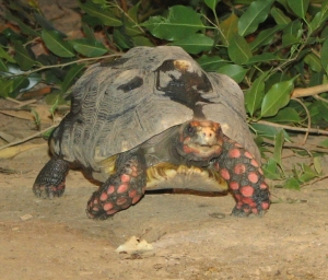 Thanks to Isabella Mandl, et. al., recipients of the 2011 Ig Nobel Prize for Physiology, we now know that red-footed tortoises do not experience contagious yawning. And I know we were all wondering. By Ltshears (Own work) [Public domain], via Wikimedia Commons