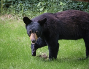 black bear in the suburbs