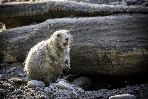 groundhog-4814471__340